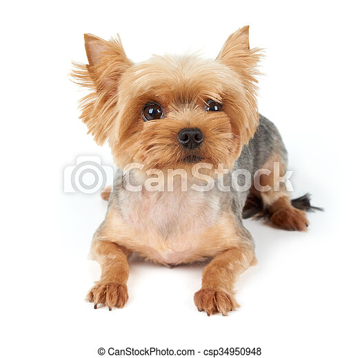 Yorkie With Short Haircut Yorkshire Terrier With Large Eyes And