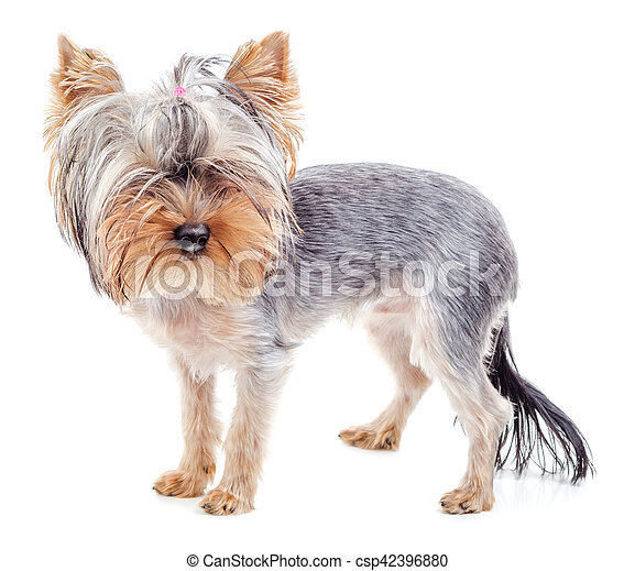 Yorkshire Terrier After Grooming Isolated Yorkshire Terrier After