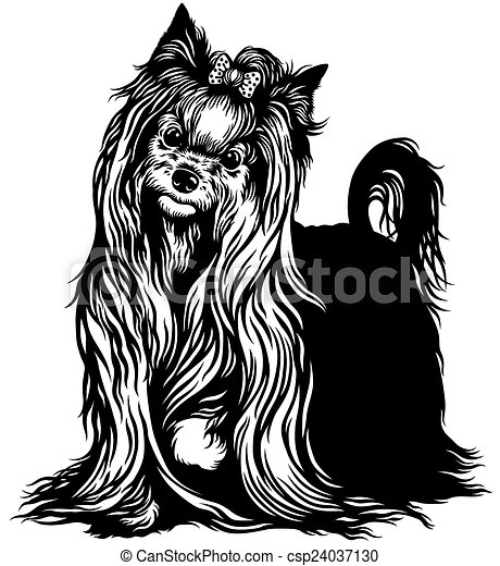 Yorkshire terrier black white csp24037130