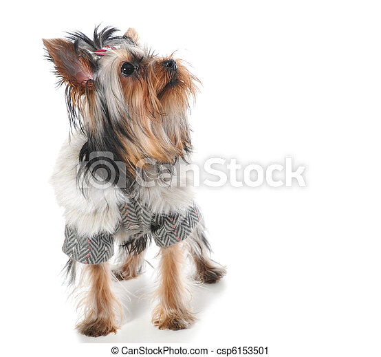 Image Of A Miniature Yorkshire Terrier At The Table Isolated On