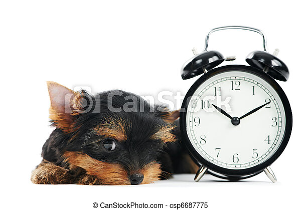 Yorkshire Terrier puppy dog with alarm clock - csp6687775