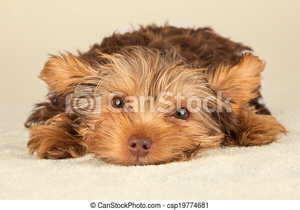 Yorkshire Terrier puppy lying in studio looking inquisitive on beige bed - csp19774681