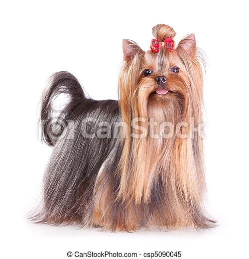 Yorkshire Terrier - csp5090045