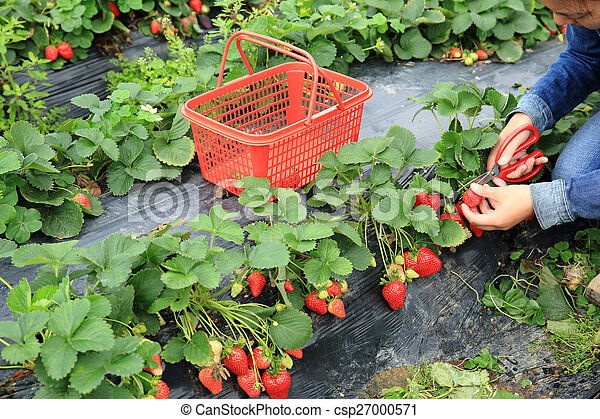 young asian woman picking strawberry in garden - csp27000571