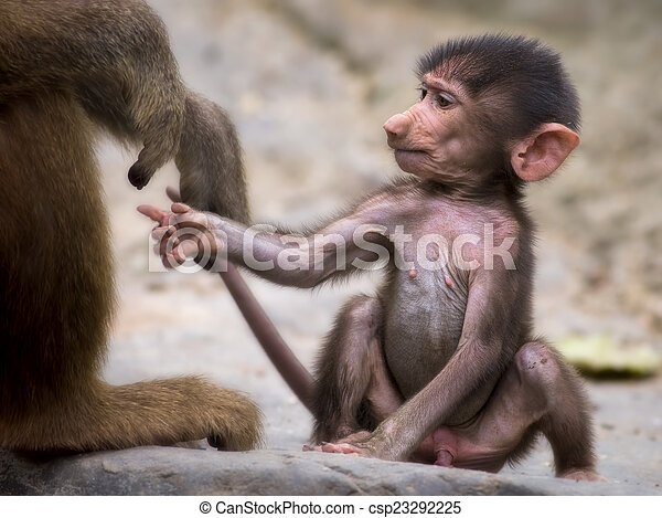 Young baboon - csp23292225