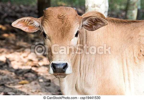 young baby cow  eat fresh green grass on soil ground, culture thai agriculture vintage style - csp19441530