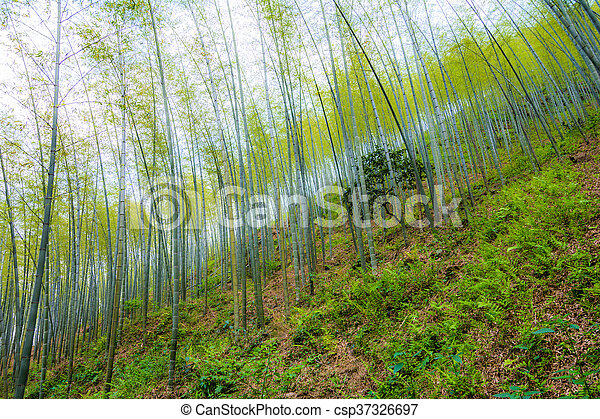 Young bamboo forest on the hillside - csp37326697