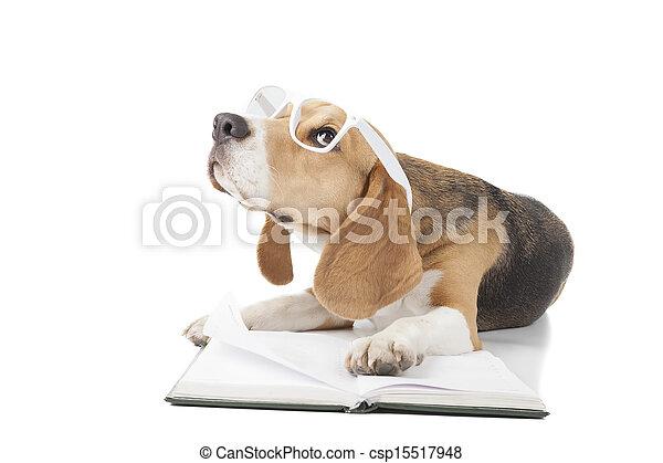 young beagle - csp15517948