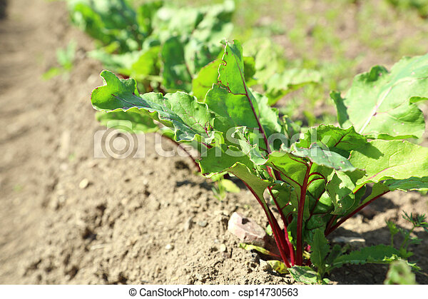 Young beetroot growing on soil - csp14730563