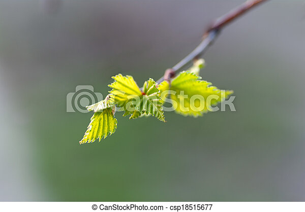 young birch leaves on a branch - csp18515677