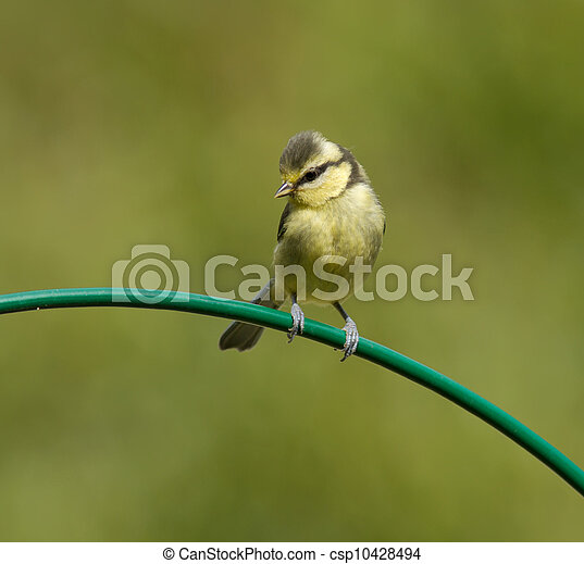 Young blue tit - csp10428494
