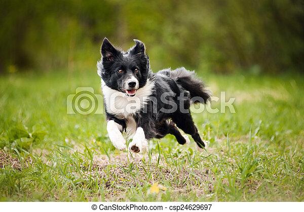 Young border collie dog - csp24629697