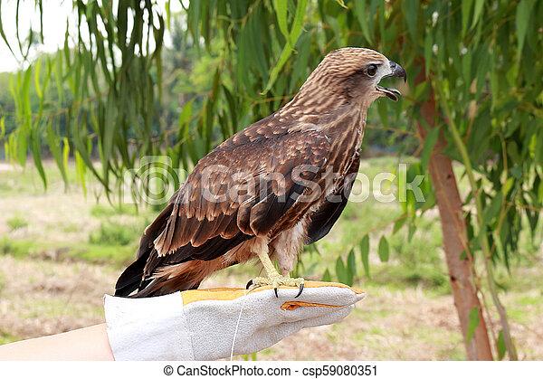 Young brahminy kite 2 - csp59080351