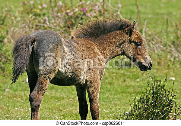 Young brown horse in Cornwall. UK - csp8626011