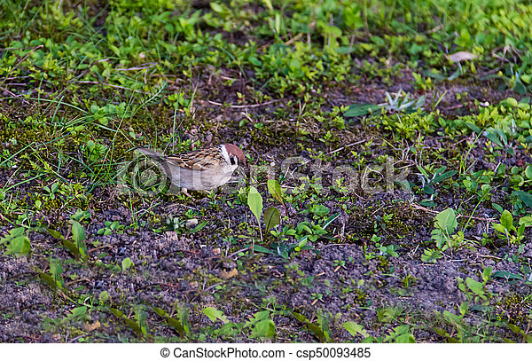 young brown sparrow looking for food on the field with grass - csp50093485