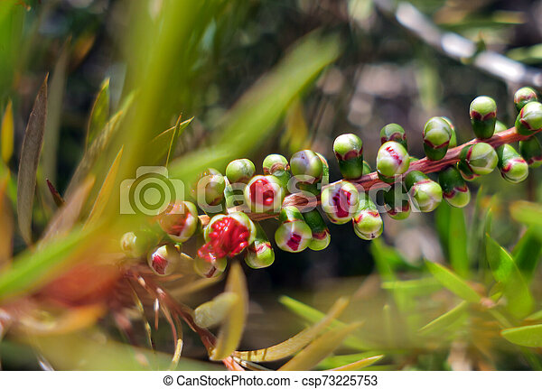 Young callistemon japanese red maple flower buds sunny summer day - csp73225753