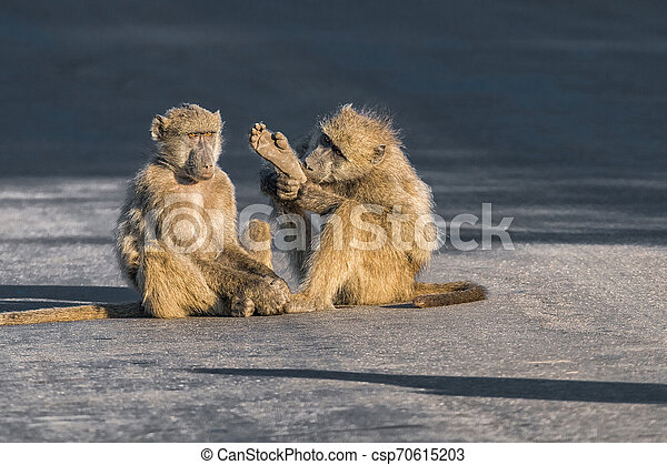 Young chacma baboon holding a foot in the air - csp70615203