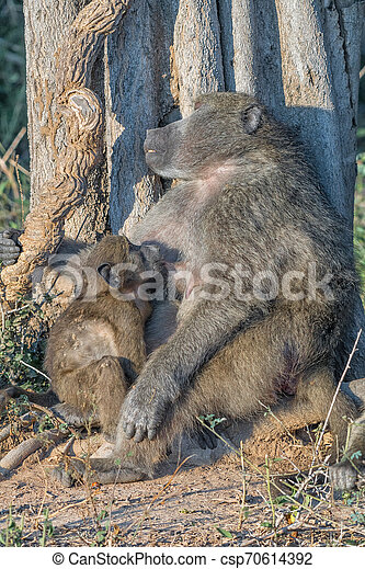 Young chacma baboon suckling on its sleeping mother - csp70614392
