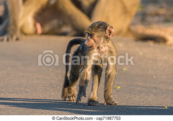Young chacma baboon walking in a road - csp71987753
