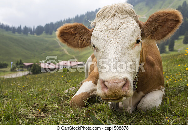 Young cow on an alpine meadow in Bavaria, Germany - csp15088781