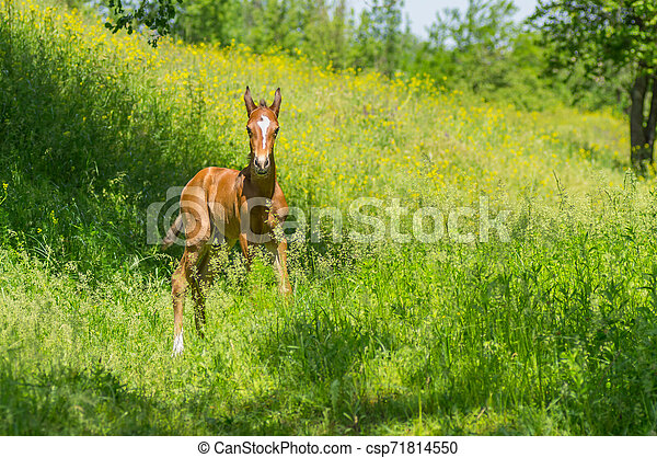 Young curious foal playing on a summer pasture - csp71814550