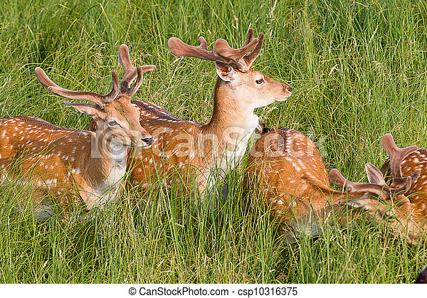 Young deer are resting in a meadow - csp10316375