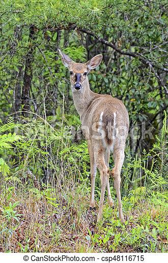 Young Deer in the Woods - csp48116715