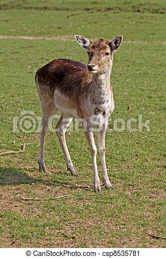 Young deer on a meadow, Germany - csp8535781