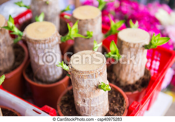 young dracaena plant in pot - csp40975283