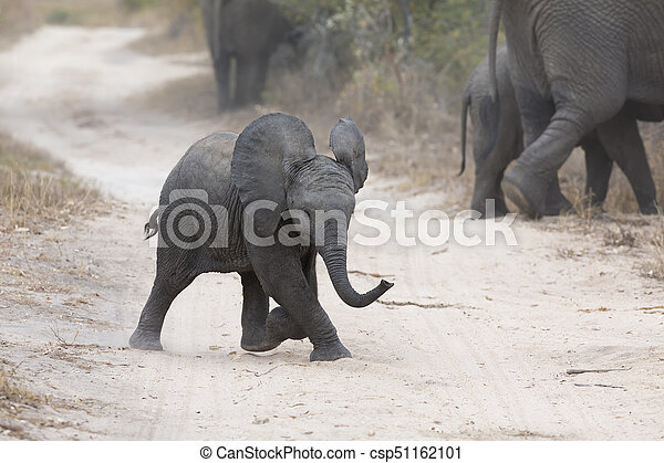 Young elephant play on a road with family feed nearby - csp51162101