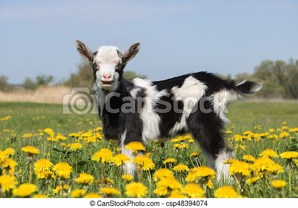 Young funny goat in dandelions and crying - csp48394074