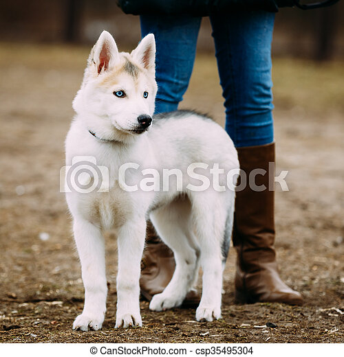 Young Funny White Husky Puppy Dog With Blue Eyes Play Outdoor In Autumn Park