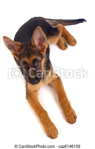 Young German Shepherd dog - csp6146159