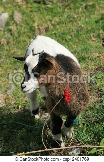 Young Goat in a Field - csp12401769
