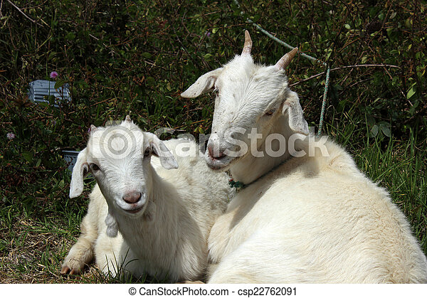 Young Goats in a Field - csp22762091