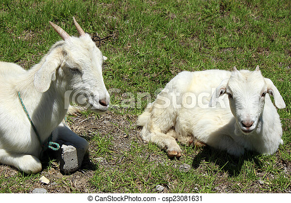 Young Goats in a Pasture - csp23081631
