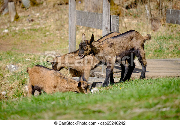 Young goats on a meadow in Bavaria, Germany - csp65246242