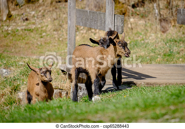 Young goats on a meadow in Bavaria, Germany - csp65288443