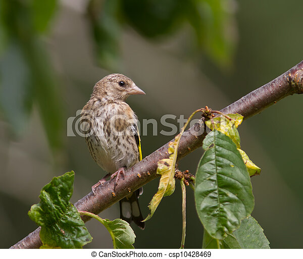 Young Goldfinch - csp10428469