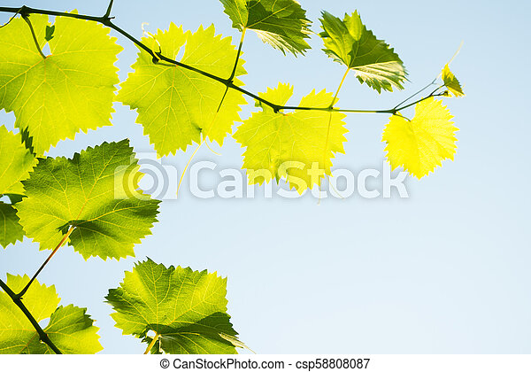 Young Grape Vine on Blue Sky Background in Bright Sun Rays - csp58808087