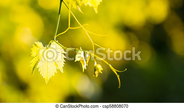 Young Grape Vine on Blurred Green Background in Bright Sun Rays - csp58808070