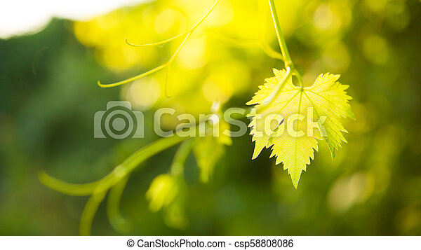 Young Grape Vine on Blurred Green Background in Bright Sun Rays - csp58808086