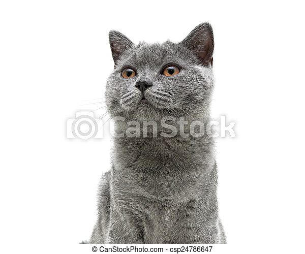 young gray cat with yellow eyes on a white background background - csp24786647