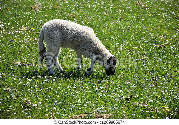 Young Grazing Lamb in a Field with Small Flowers Blooming - csp69965674
