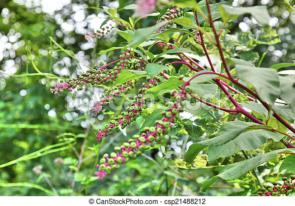 Young green American pokeweed fruit (the green berries) on a mature pokeweed plant - csp21488212