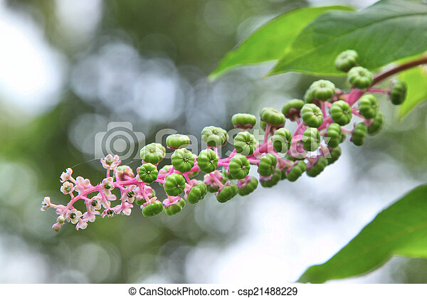 Young green American pokeweed fruit (the green berries) on a mature pokeweed plant - csp21488229