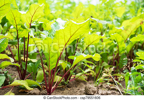 Young green leaves of the beets growing in the garden. - csp79551606