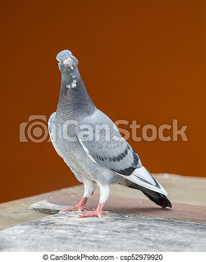 young homing pigeon bird standing on wood floor against colorful wall - csp52979920