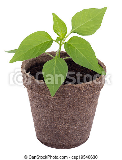 young hot pepper plant - csp19540630