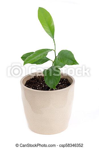 young indoor citrus plant - csp58346352